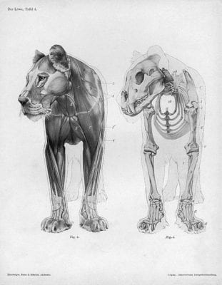 Lion_Makers_anatomy