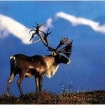 Reindeer and Caribou, What's the Difference?